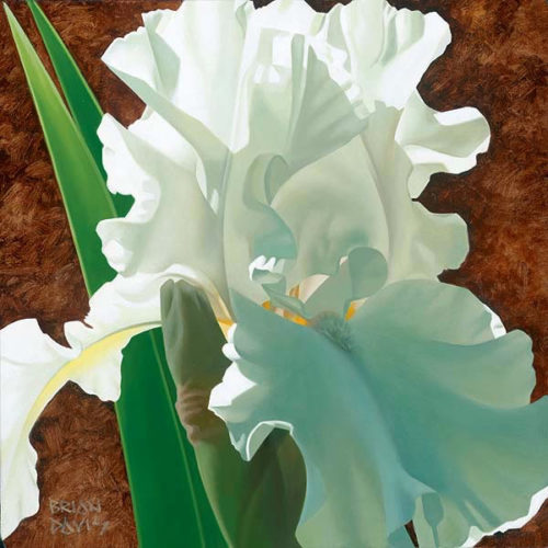 Solitary White Iris by Brian Davis