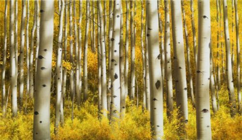 Aspen Morning - Collector's Edition